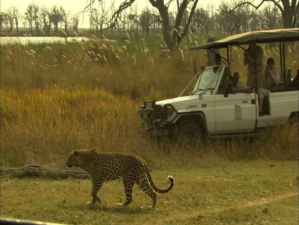 Camp Moremi - game drive with leopard.