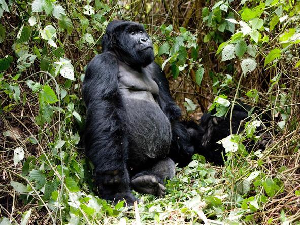 Sabyinyo Silverback Lodge - gorilla trekking