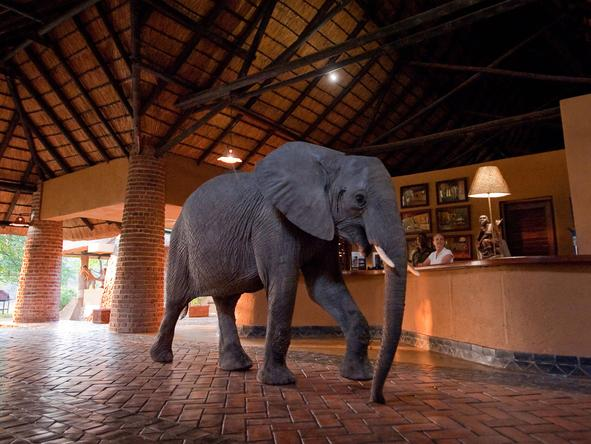 Mfuwe Lodge - reception + elephant