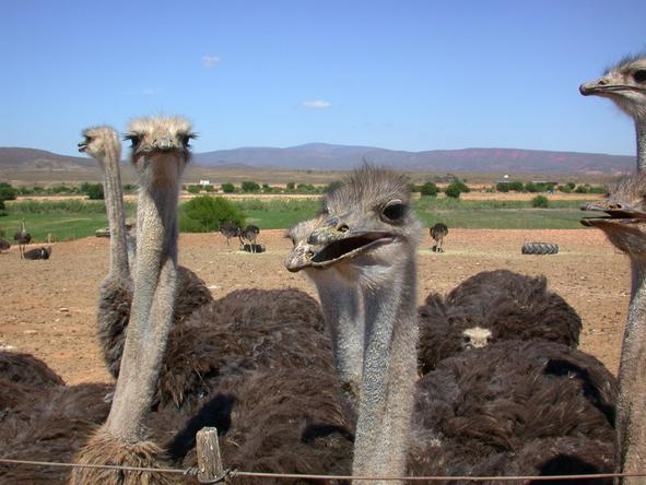 Mooiplaas Guest House - ostriches