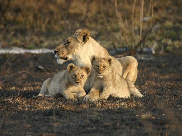 Jamala Madikwe Royal Safari Lodge - Wildlife