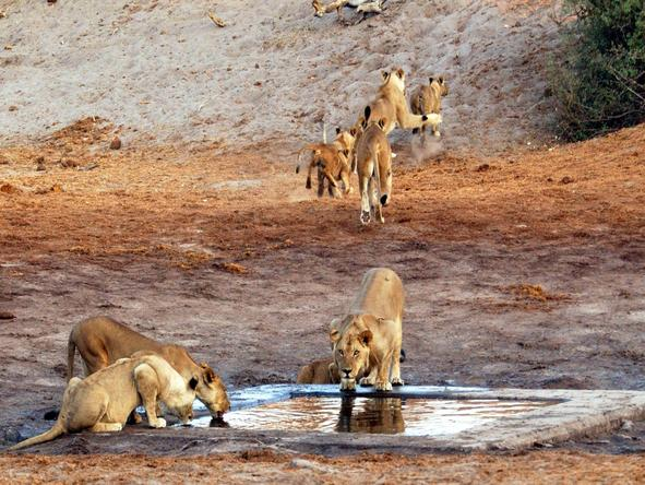 Savute Safari Lodge - lion pride at waterhole