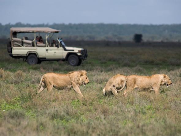 Kusini - lion in the park