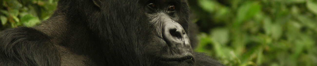 Exciting Gorilla Encounter