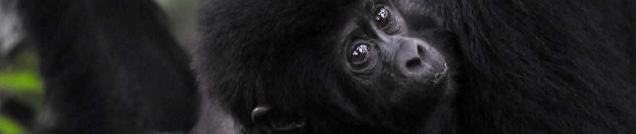 Chimp Habituation, Gorillas & Wildlife