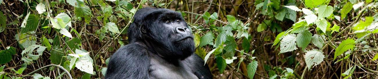 Uganda - mountain gorilla treks, big game safaris and bird watching, this country delivers a unique wildlife experience.