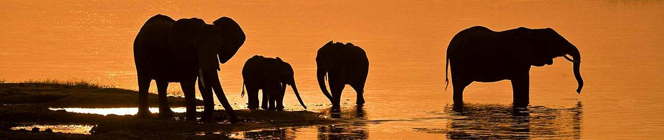 Chobe - from the massed elephant herds of the Chobe River to the predators of Savute, Botswana&#39;s heavyweight park delivers every time.
