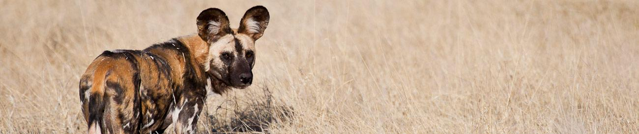 Madikwe - a Big 5 safari destination renowned for excellent sightings of the highly endangered African wild dog.