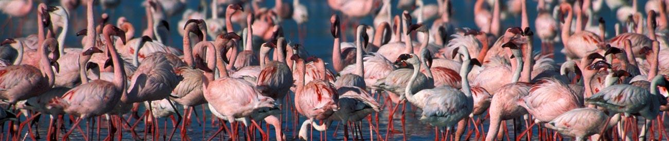 Lake Nakuru - home to tens of thousands of pink flamingos and other waterbirds, Lake Nakuru also has a great reputation for rhino sightings.