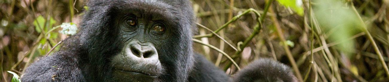 Gorilla Trekking - as one of the most unique wildlife encounters in Africa, a gorilla trek is also one of the most popular - remember to book early to enjoy this once-in-a-lifetime experience.