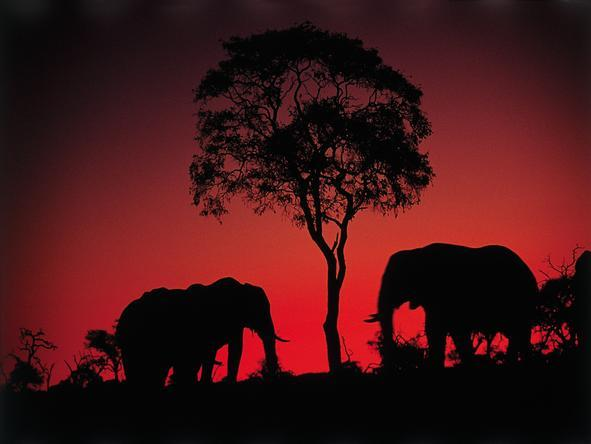 Khwai River Lodge - elephants against the sunset