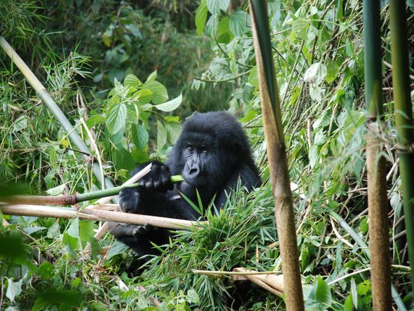 Gorillas & Game Parks Safari