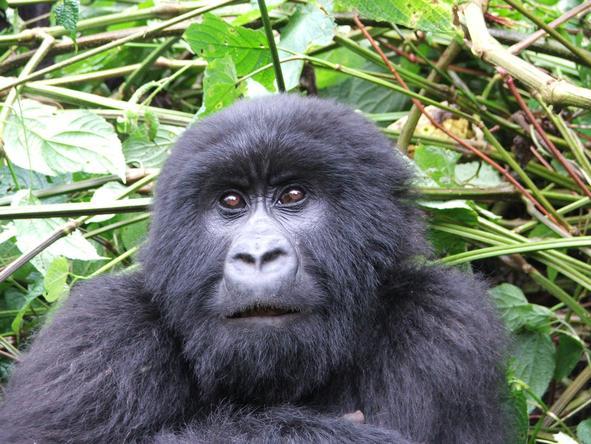 Gorilla, Game Parks & Zanzibar