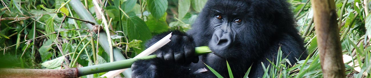 Exciting Gorilla Trekking Adventure