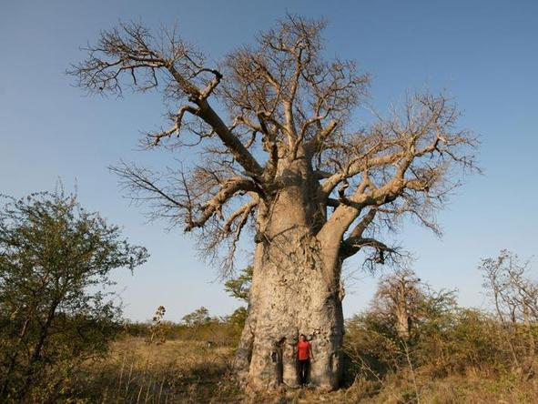 Huge baobabs are found across Northern Namibia - this one is in the Waterberg National Park.