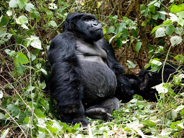 Gorilla trekking is one of main reasons people visit Rwanda. Explore the vast forests in search of these incredible animals.