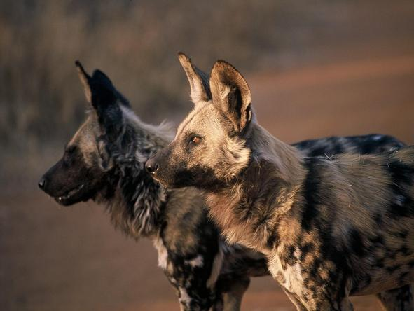 Wild dogs are a rare sight, but many safari goers can expect to see them in Madikwe Game Reserve and parts of Kruger.