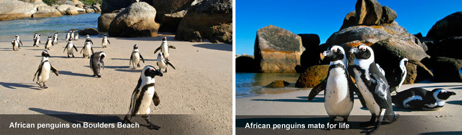 Boulders Beach - penguins on the sand