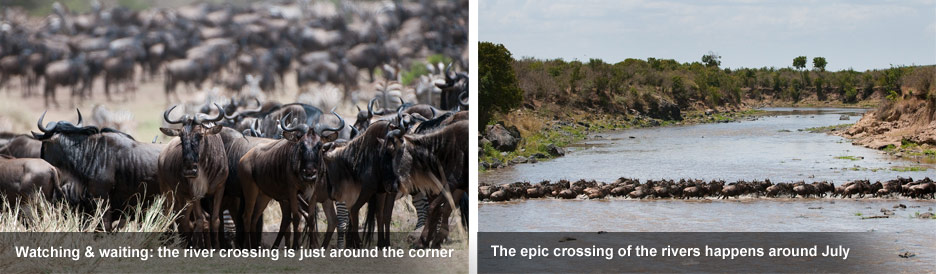 How the Migration Works - the herds wait nervously on the river banks before crossing.