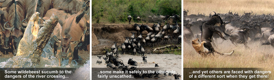 How the Migration Works - the crossing awakens the dangers of the Serengeti &amp; Masai Mara...