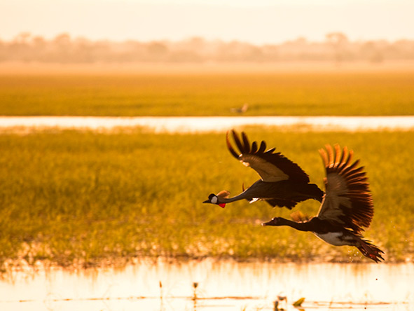 Gorongosa has phenomenal birdlife: here a grey crowned crane & spur-winged goose fly over the wetlands. © Steven Le Vourch