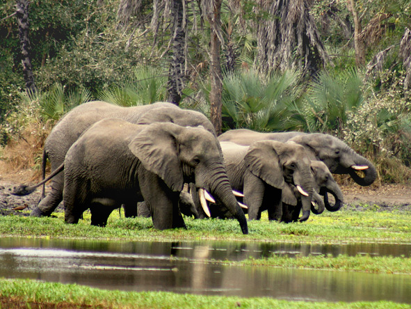 Gorongosa is home to about 300 elephants, often seen at the park's rivers & waterholes in the dry season.