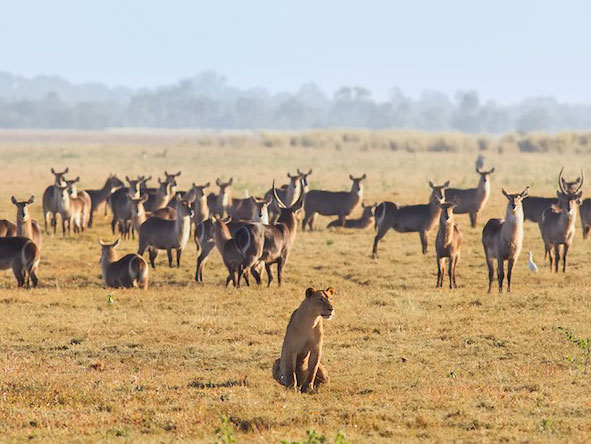 A favoured hunting ground: a herd of waterbuck & a lioness on the Gorongosa floodplains. © Michael dos Santos