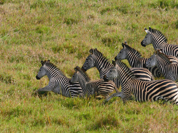 Gorongosa is home to Crawshay's zebra, whose stripes are thinner & denser than other zebra species. © Paul Kerrison