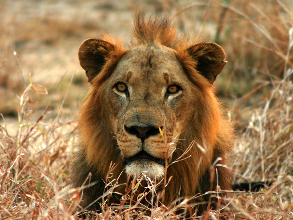 Lion numbers are on the increase & a project is underway to restore the species to its full capacity in the park. © Robert Spaan