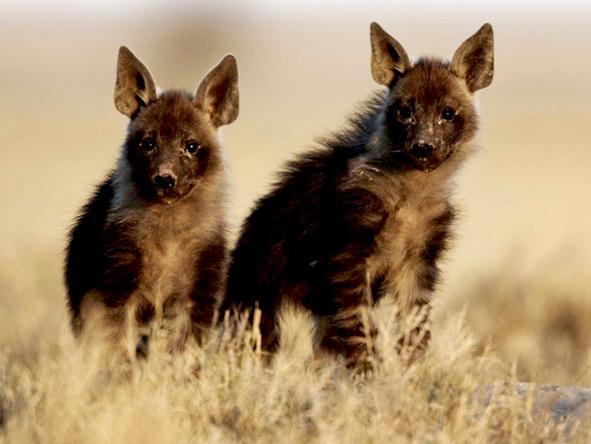Jack's Camp - Wild Dogs