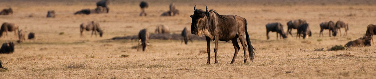 The annual wildebeest migration is a highlight on a Kenya & Tanzania safari tour.