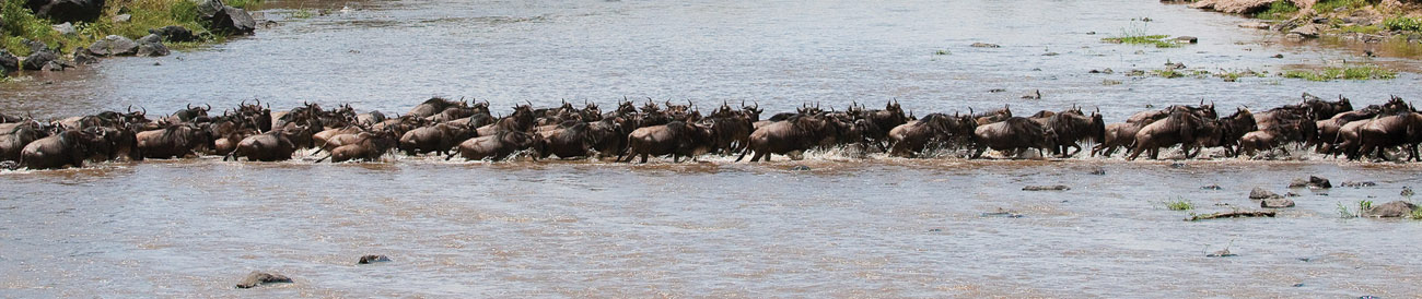 Wildebeest crossing the Mara River during the annual migration