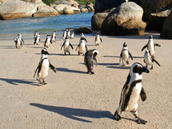 Boulders Beach - nesting penguins.