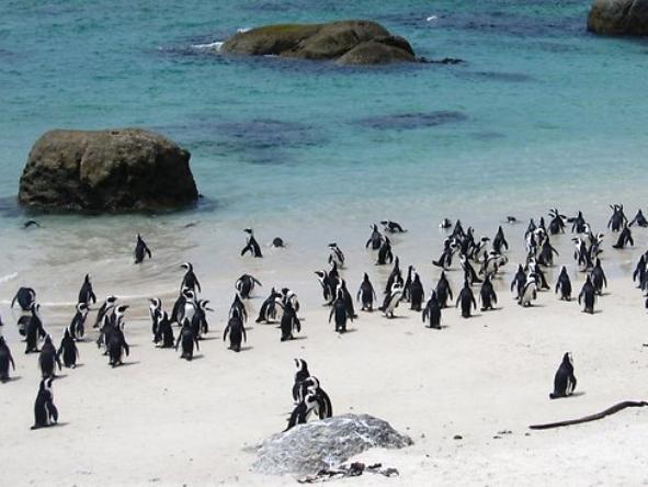 Boulders Beach - African penguin