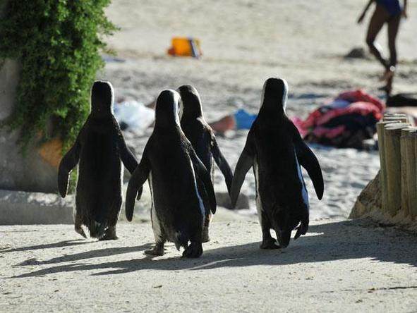 Boulders Beach - beach patrol