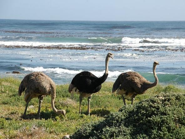 Cape Point - ostriches in the reserve