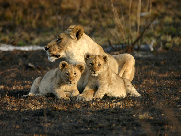 South Africa for the connoisseur - Madikwe lions