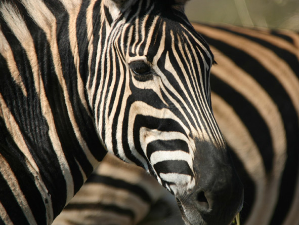 South Africa for the connoisseur - Madikwe zebra