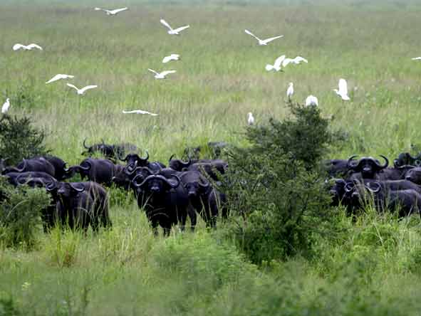 Tanzania's Western Wilderness - Herds of buffalo