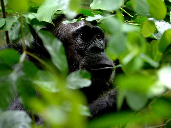 Tanzania's Western Wilderness - Chimpanzee walk