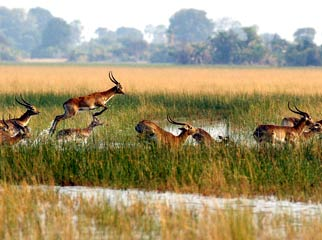Africa's Famous Places - sitatunga antelope in the Okavango Delta