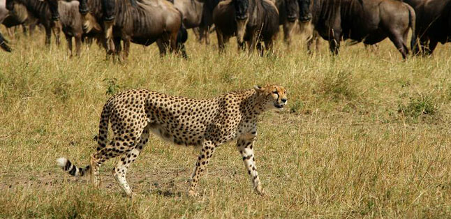 East vs Southern Africa Safaris - a cheetah walks the Serengeti plains
