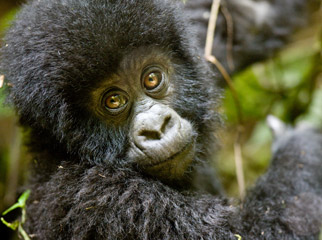 East vs Southern Africa Safaris - a young gorilla spotted on forest trek in Uganda