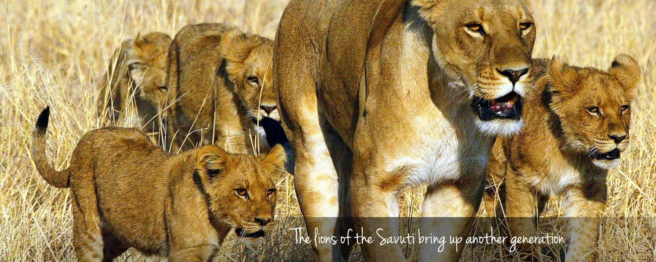 Elephant Eaters of the Savuti - the next lion pride generation
