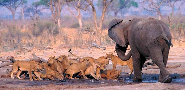 Elephant Eaters of the Savuti - a pride tries to threaten a lone elephant