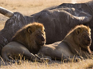 East vs Southern Africa Safaris - two male lions sit next to an elephant carcass