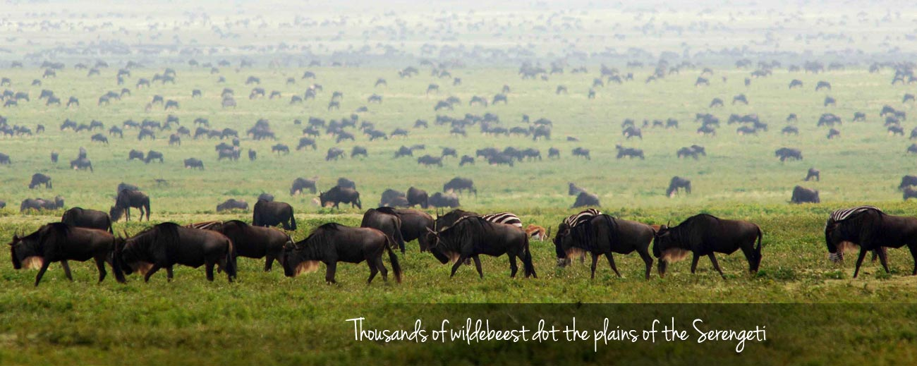 How the Migration Works - herds amassed on a Serengeti plains