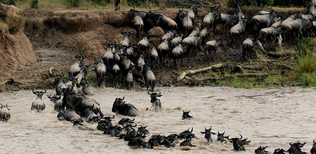How the Migration Works - the herds cross the Mara River