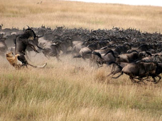How the Migration Works - a lion takes down a wildebeest