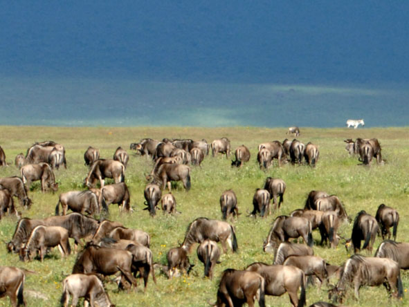 Luxury Migration, Lake & Crater Safari - Wildebeest migration